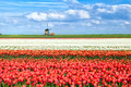 Colorful tulip fields in alkmaar duirng spring north holland Stock Photography