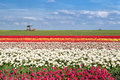 Colorful tulip fields in alkmaar north holland spring and windmill Royalty Free Stock Photo