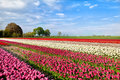 Colorful tulip fields in alkmaar spring north holland Royalty Free Stock Photo