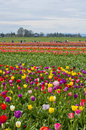 Colorful tulip fields in bloom Royalty Free Stock Photo