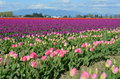 Colorful tulip fields scenic view of blooming pink and purple flowers in mount veron washington u s a Royalty Free Stock Image