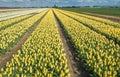 Colorful tulip fields in springtime