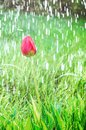 Colorful tulip flower close up and rain drops, rain falling on tulip flower Royalty Free Stock Photo
