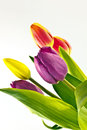 Colorful tulip flowers bunch of freshly cut in bloom with white background Royalty Free Stock Photo