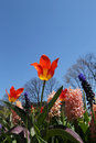 The Colorful Tulips And Beautiful Hyacinths In Spring