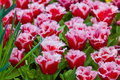 Colorful tulips.  Beautiful spring flowers. Spring landscape Royalty Free Stock Photo