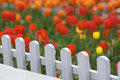 Colorful Tulips Behind White Fence Royalty Free Stock Image