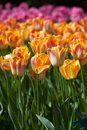 Colorful tulips on blurred background Royalty Free Stock Photos