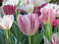 Colorful tulips close up background Royalty Free Stock Photos