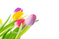 Colorful tulips corner frame white background Royalty Free Stock Image