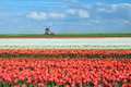 Colorful tulips on dutch fields and windmill alkmaar north holland Stock Photos