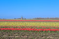 Colorful tulips and dutch windmill many holland Royalty Free Stock Photos
