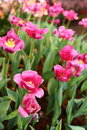 Colorful tulips flower spring in garden Stock Images