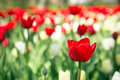 Colorful tulips in the garden blossom meadow of Royalty Free Stock Photos