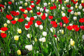 Colorful tulips in the garden blossom meadow of Royalty Free Stock Image