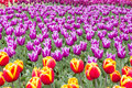 Colorful Tulips Garden Patchwork Royalty Free Stock Photo
