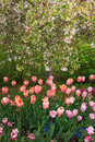 Colorful tulips in a with spring blossoms. Royalty Free Stock Photo