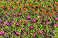 Colorful tulips spring flower field Royalty Free Stock Images