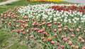 Colorful   tulips in a spring garden Royalty Free Stock Photo