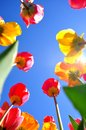Colorful tulips it is spring time in usa Royalty Free Stock Photography