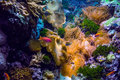 Colorful underwater sea world a pink fish swims in a salt water aquarium full of coral anemone and live rock Stock Photo
