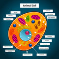 Colorful vector illustration animal cell Royalty Free Stock Photo