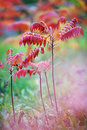Colorful vibrant leaves on a sumac plant during the autumn season young trees time Stock Photography