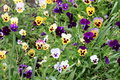 Colorful and vibrant pansy flowers in green grass Royalty Free Stock Photo