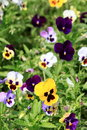 Colorful and vibrant pansy flowers in green grass Stock Photography
