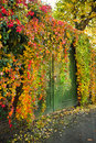 Colorful Virginian creeper growing Royalty Free Stock Images