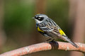 Colorful Warbler Stock Photo