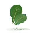 A Colorful watercolor texture vector healthy vegetable collards Royalty Free Stock Photo