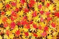Colorful and wet fallen japanese maple leaves in autumn season Stock Photo