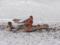 Colorful winter birds eating seeds on the snow Royalty Free Stock Photos