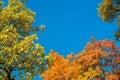 Colorful Yellow Autumn Foliage...