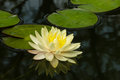Colorful yellow water lilly Royalty Free Stock Photo