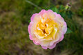Colorful yellow-white rose. Royalty Free Stock Photo