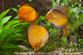 Colorfull discuses in aquarium Royalty Free Stock Photo