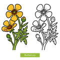Coloring book, flower Buttercup Royalty Free Stock Photo