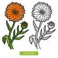Coloring book, flower Calendula
