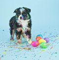 Coloring easter eggs a silly little australian shepherd puppy that looks like he had to much fun painting Royalty Free Stock Photo