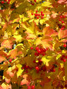 Colors of autumn yellow leaves of viburnum background and red Stock Images