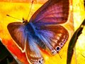 Colors of butterfly redefined Royalty Free Stock Photo
