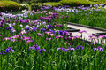 Colors of Japanese iris garden, Kyoto Japan summer. Royalty Free Stock Photo