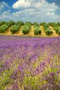 Colors provence france lavender olive trees Royalty Free Stock Images