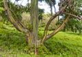 Colors of Rainbow Tree, Maui, HI Stock Photography