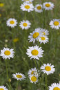 Colorul daisies colorful a symbol of innocence and purity blooming brightly in a summer field Royalty Free Stock Photos
