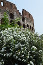 Colosseo rome italy view external of colosseum in with flowers in spring Royalty Free Stock Photo