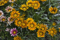 Colour flowerheads of gazania background with colorful flowers Royalty Free Stock Photography
