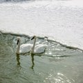 Colour picture of animal ducks in sea orangeville dufferin county ontario canada Stock Photography